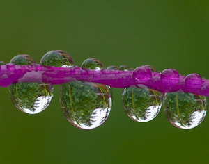 "Honorable Mention-Digital Realism, Margie Robinson, ""Dewdrop Refelections Columbine Spur"""