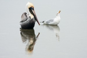 "Honorable Mention-Digital Realism,  Cal Whitehall, ""Brown Pelican and Gull"""